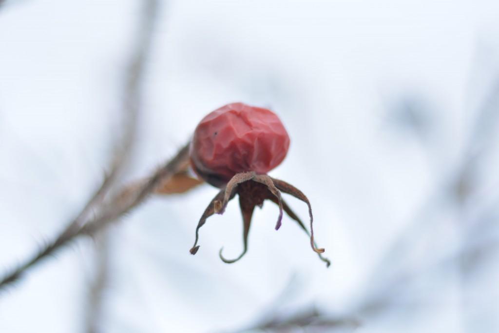Vinterlig nype fra rosebusk