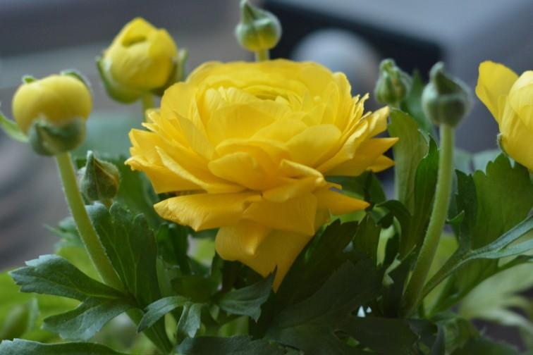Blomst med vårlig gul farge