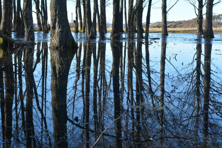 trær står i vannet som virker som speil