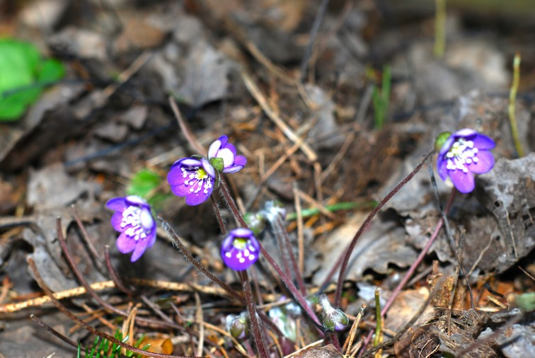 blåveis titter opp blant bladene fra i fjor