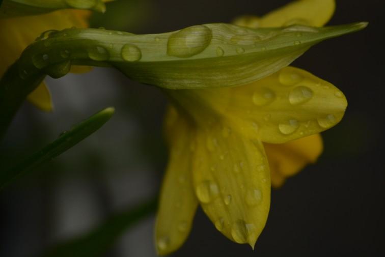 påskelilje regn