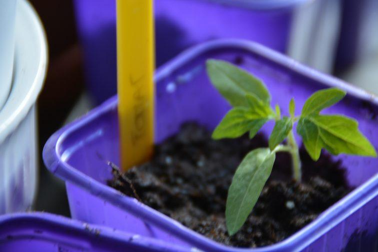 tomatplante i vekst
