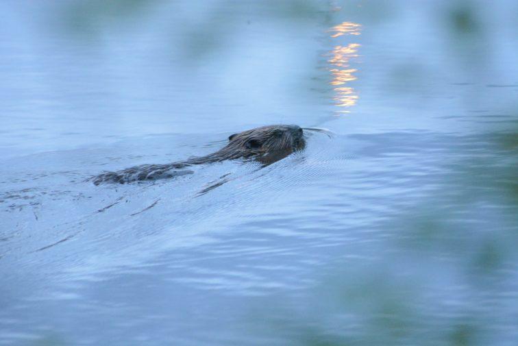Bever på svømmetur  i Vansjø