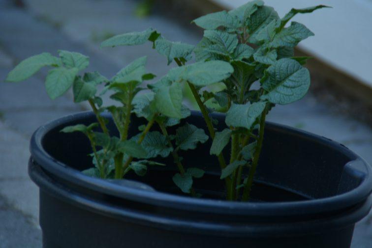 potetplante i bøtte