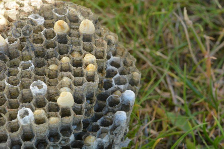 Vepsebol med larver