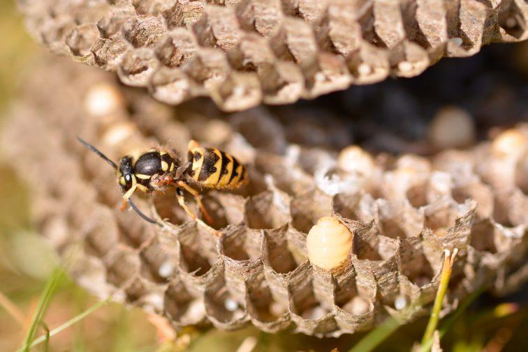 veps, egg og larver i et vepsebol