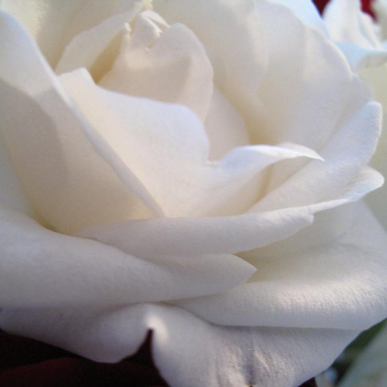 rose fra Heidi