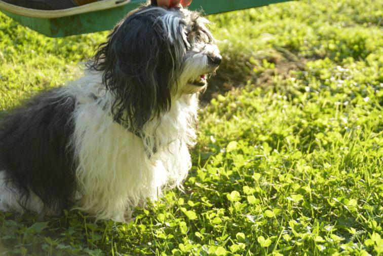 Petrinehunden har bursdag Bichon Havanaise Foto: Petrus og petrine