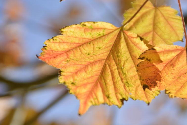 høstblader Petrus og petrine