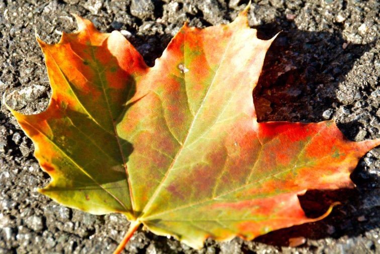 Lønneblad i høstfarger Petrus ogpetrine
